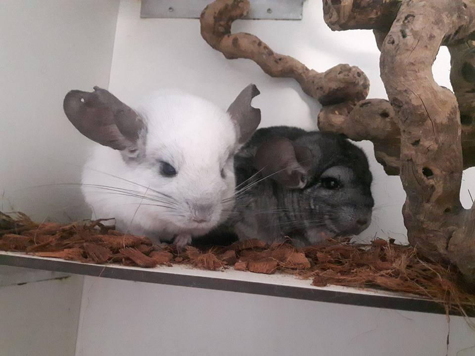 Chinchilla's Muffin & Loki op zoek naar huis met klimmogelijkheden
