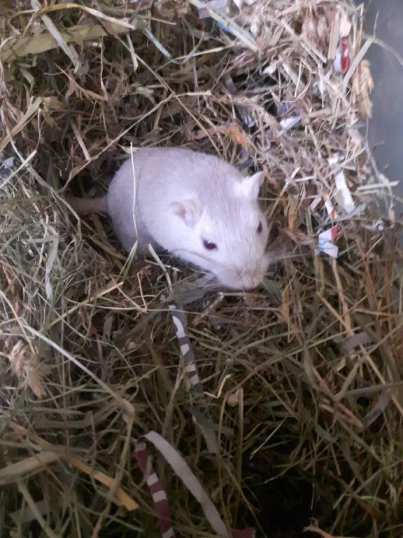Gerbil Cloe houdt van graven