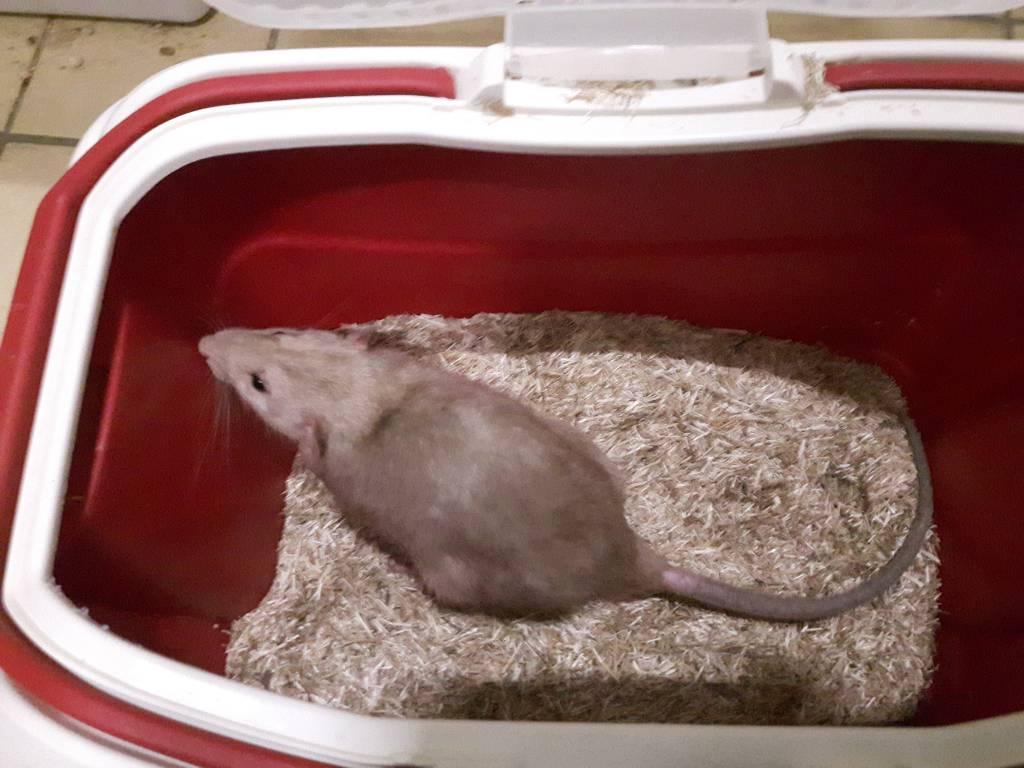 Gevonden rat Doorn is samen op zoek met Duke naar een definitief huis