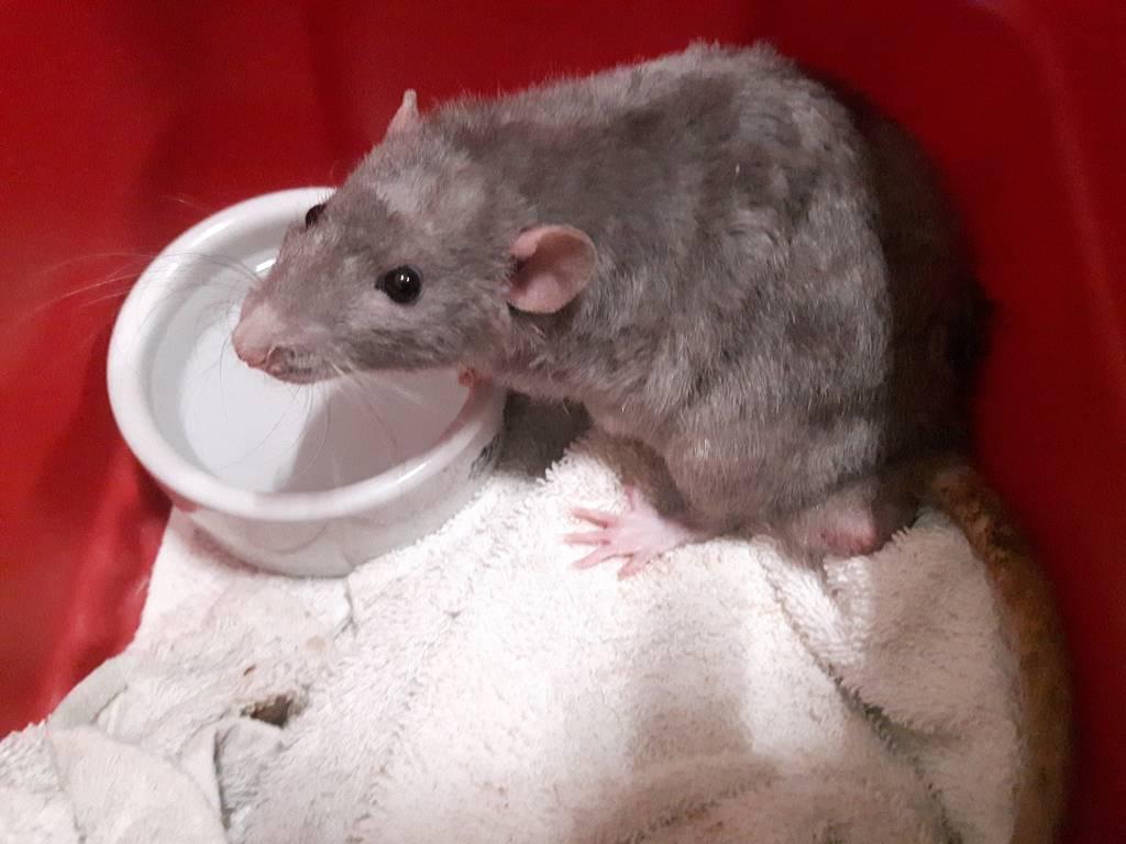 Ratten Duke en Doorn op zoek naar huisje met klimmogelijkheden