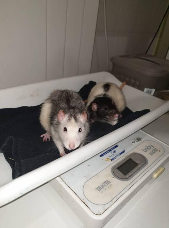 Gevonden Ratten Remy & Ratjetoe zoeken een plek waar ze kunnen blijven