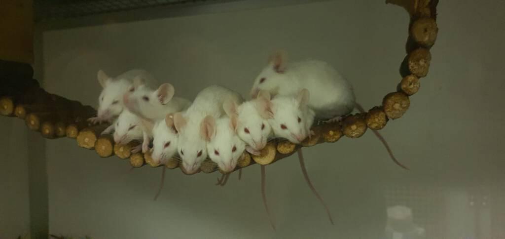 Ook lab muisjes willen een 2e kans