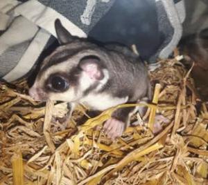 Sugar Glider Crash sliep heerlijk bij de boswachter in bed