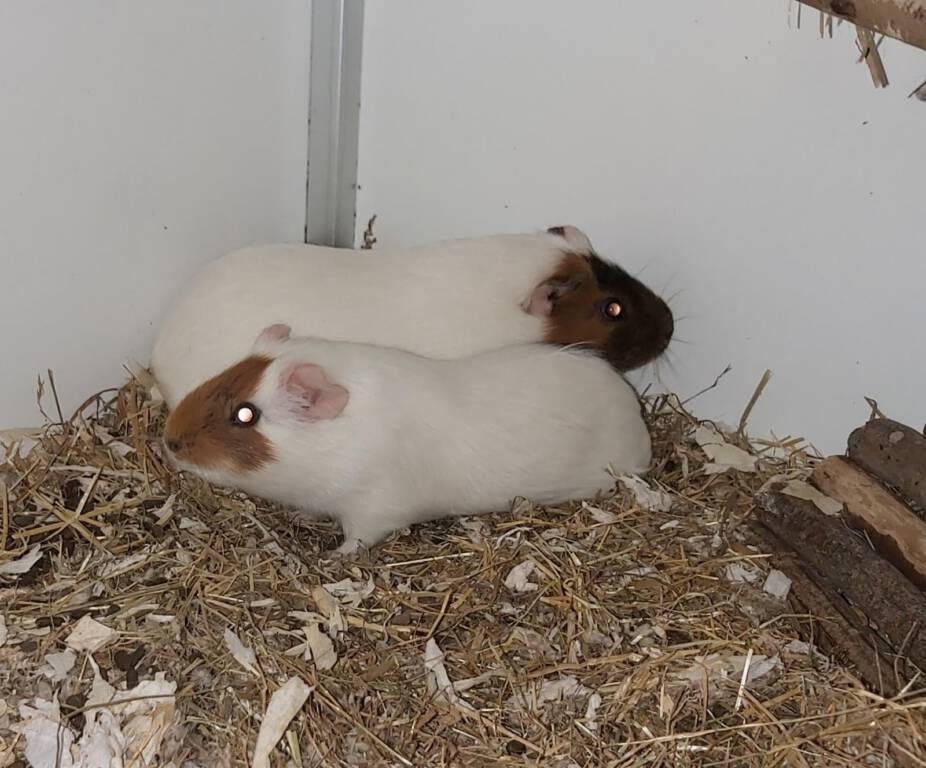 Cavia's Fay & Nikki op zoek naar gezellige woonruimte