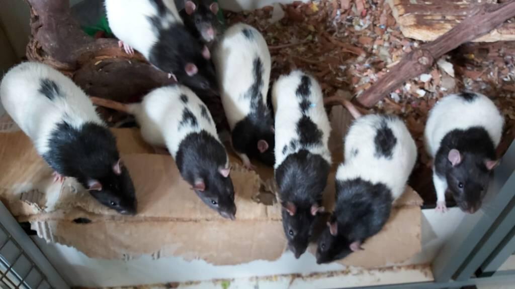 Laboratorium ratjes verdienen ook een 2e kans!
