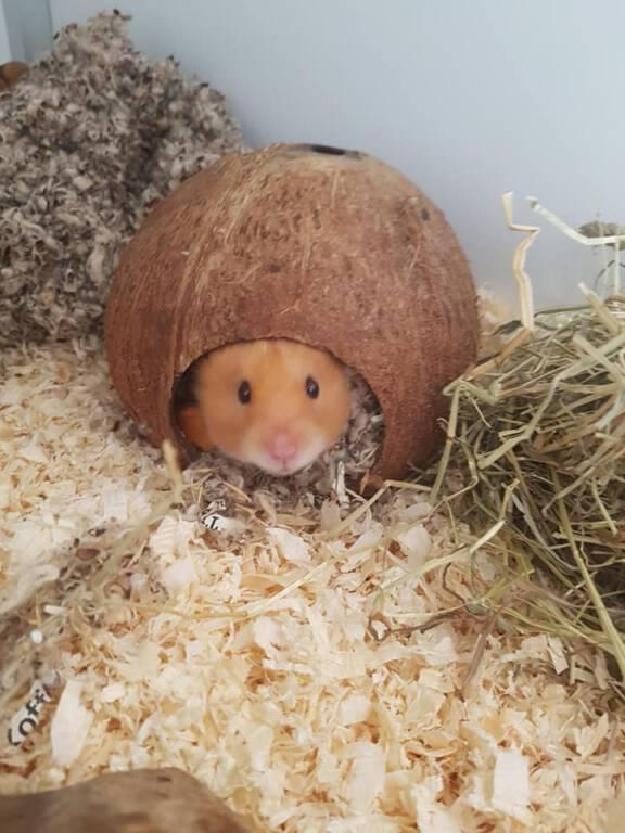 Syrische hamster Boris is op zoek naar een Royal suite