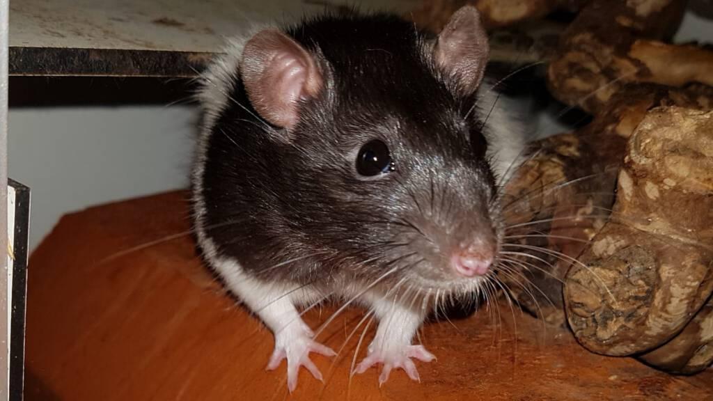 Rat Bowie hunkert naar een soortgenootje