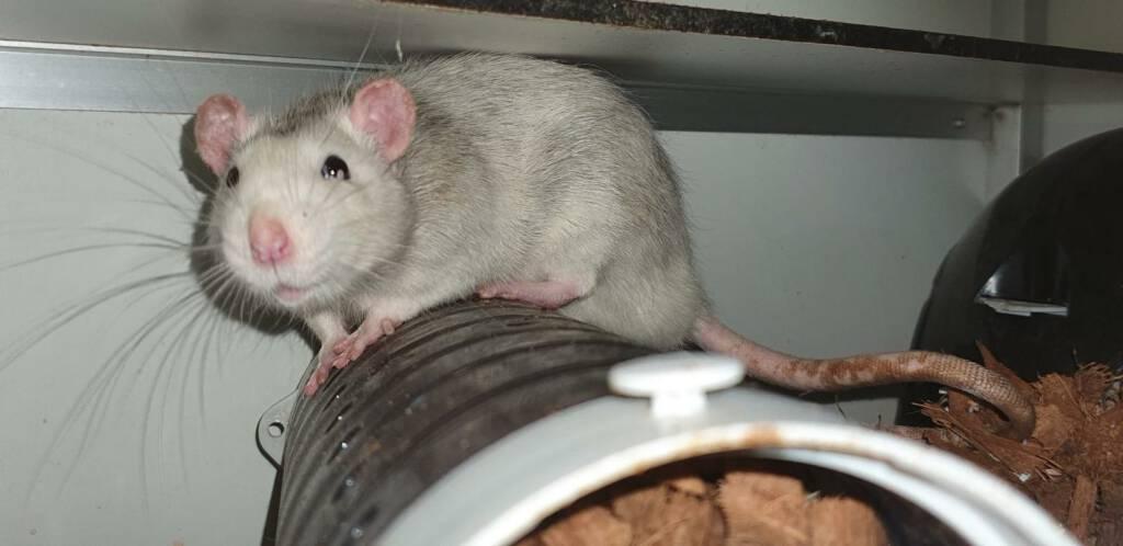 Gevonden rat Freddy is op zoek naar een maatje en een nieuw baasje