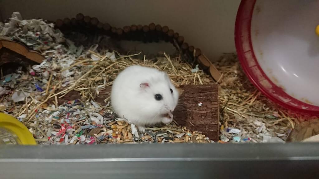 Hamster Banzai wil lekker kunnen klauteren