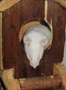 Muis Ferdinand heeft liever gezelschap van een ander muis i.p.v een kat.