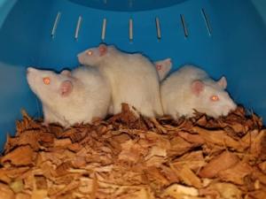 Groep ratten Kuma, Yantra, Nera & Neva zoeken samen een geweldige, grote kooi.