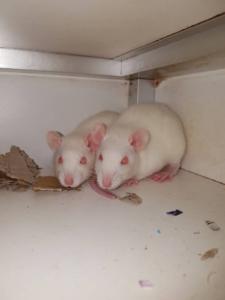 Ratten Xena & Xanthe zijn op zoek naar nieuwe uitdagingen.