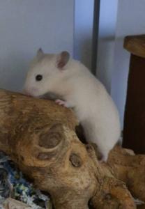 Syrische hamster Semmie heeft echt een groot terrarium nodig met veel speelgoed.