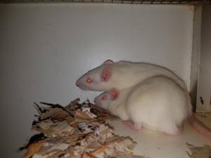 Ratten Rosé & Rosa willen graag onderdak.